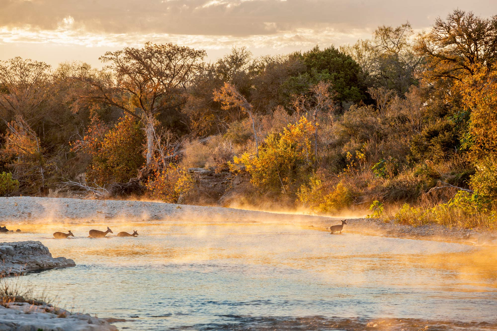 Deer crossing the Blanco River in Texas at sunrise
