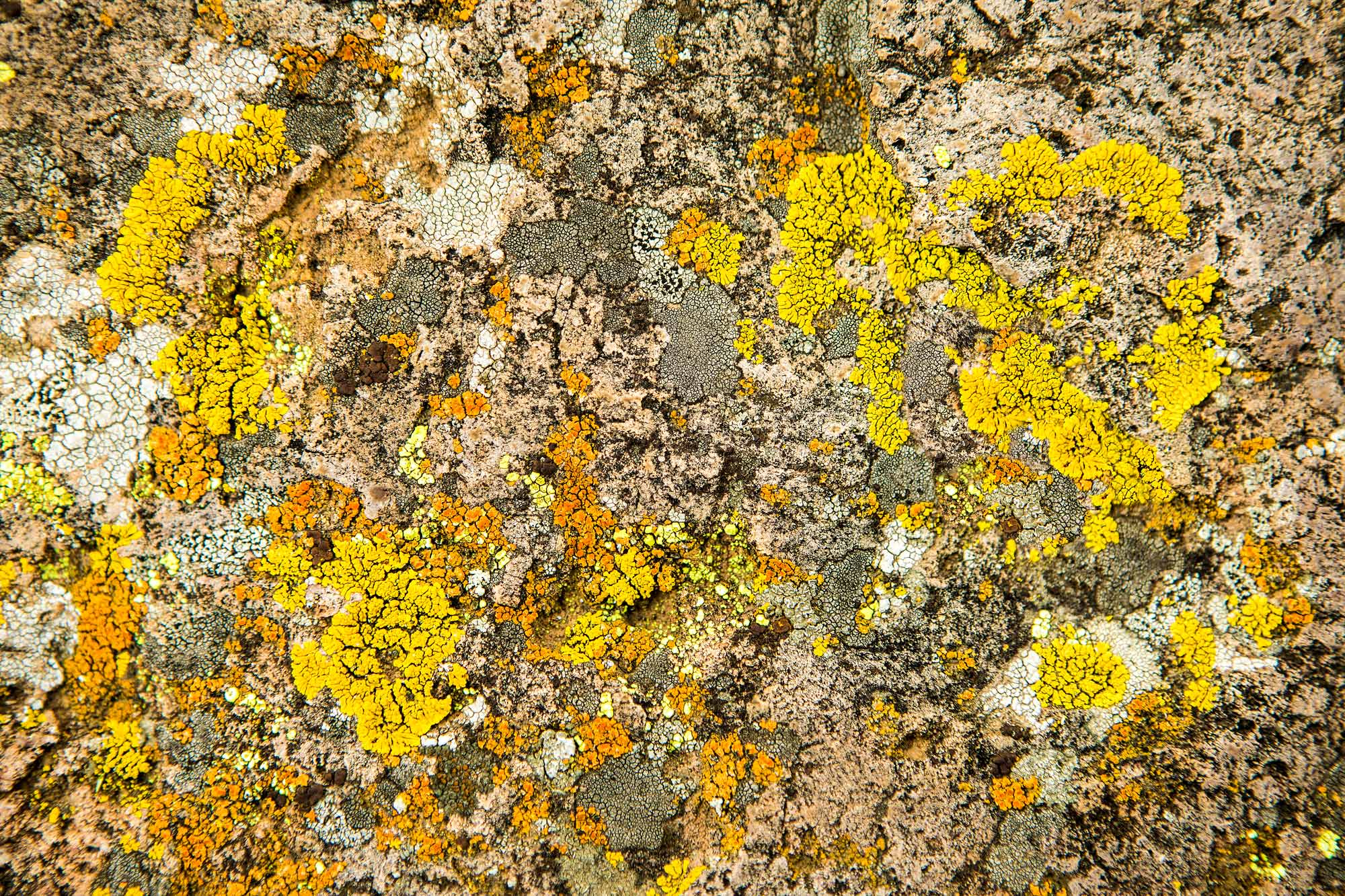 Lichen - Davis Mountains