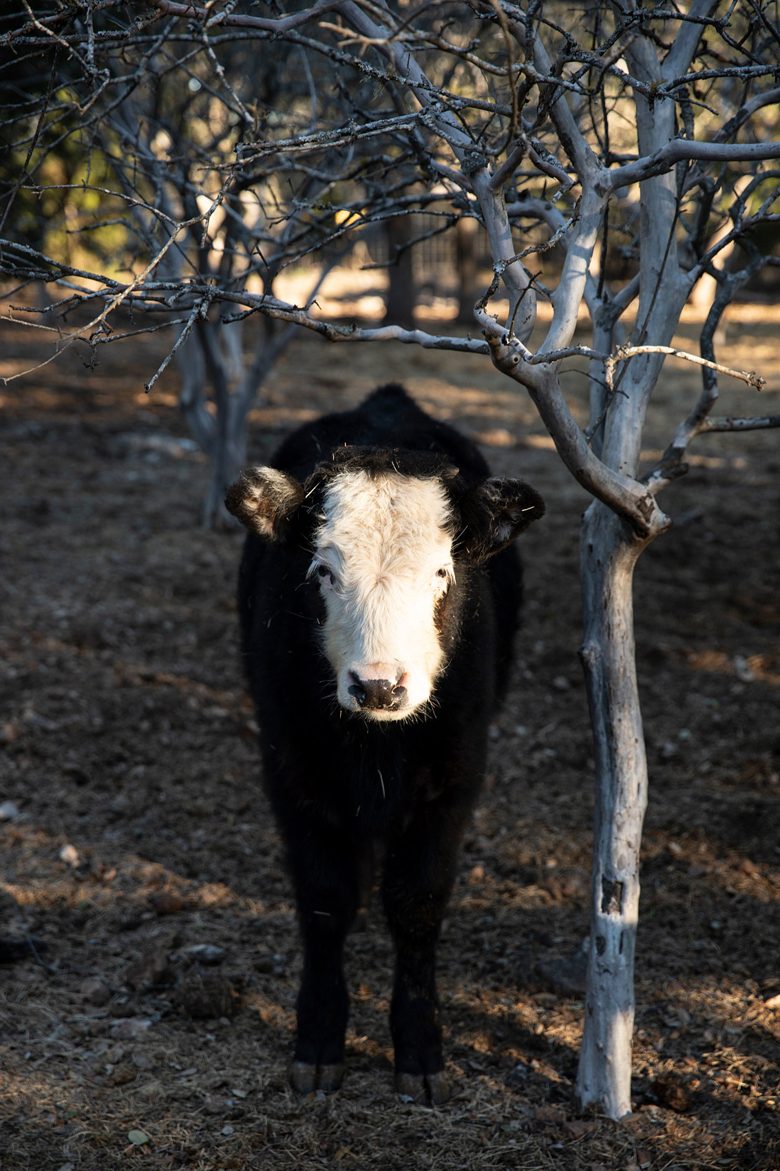 Young calf at Walnut Canyon Cabins