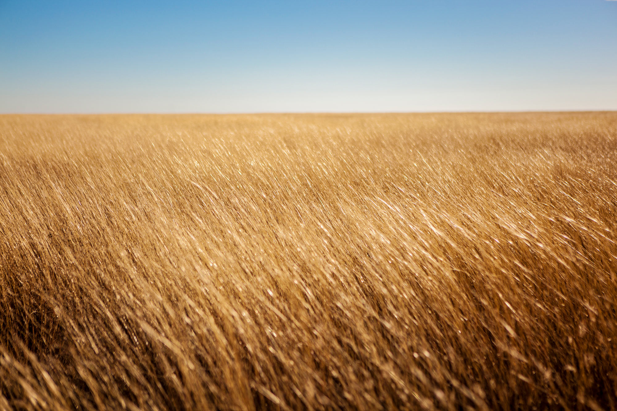 Tall golden grass and blue sky, Texas Panhandle