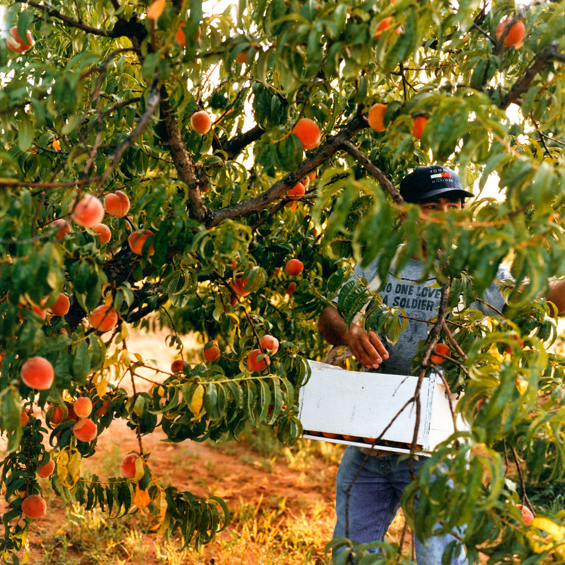 Peach Picker