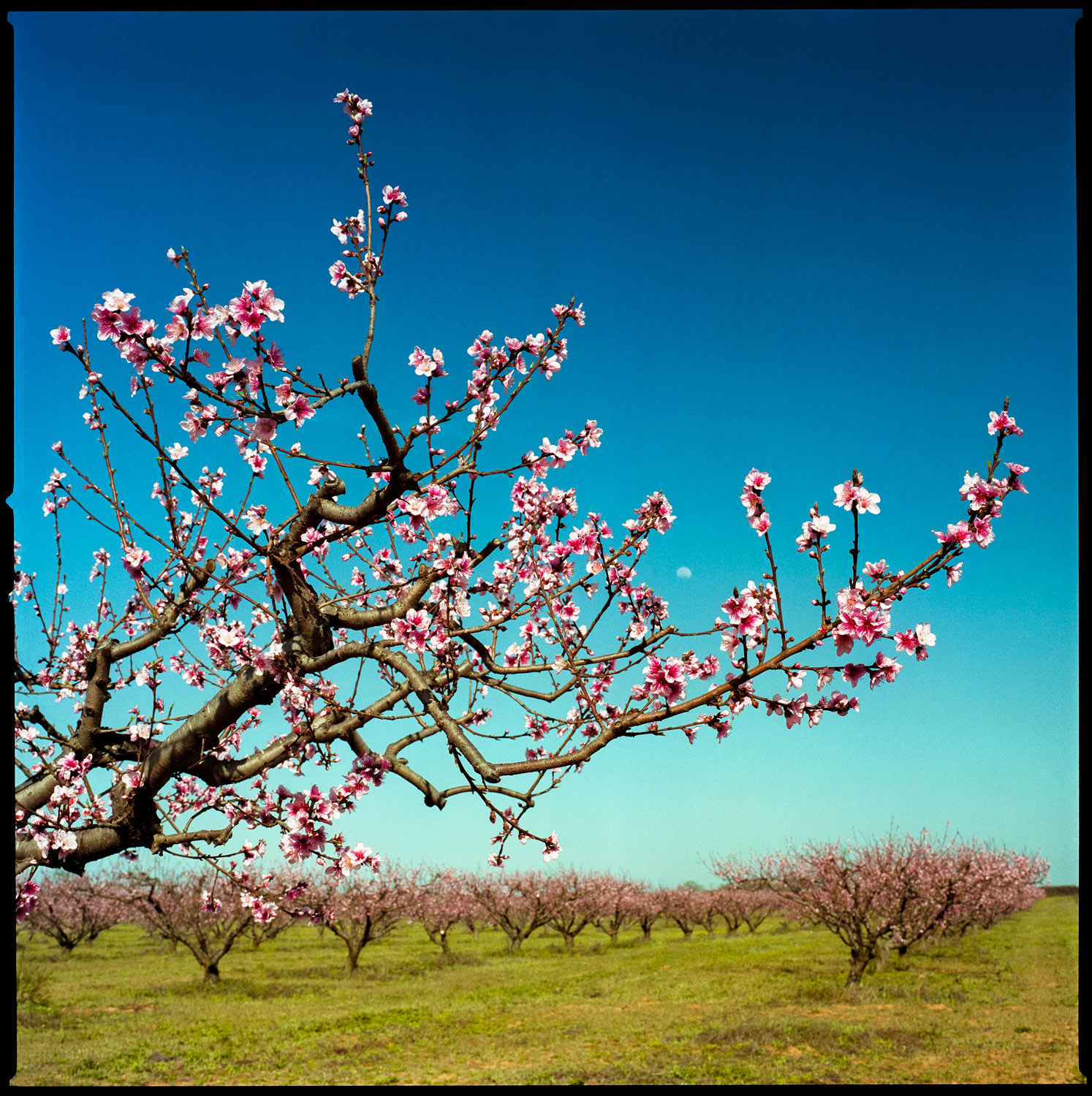 Peach Blossoms in orchard near Stonewall, Texas
