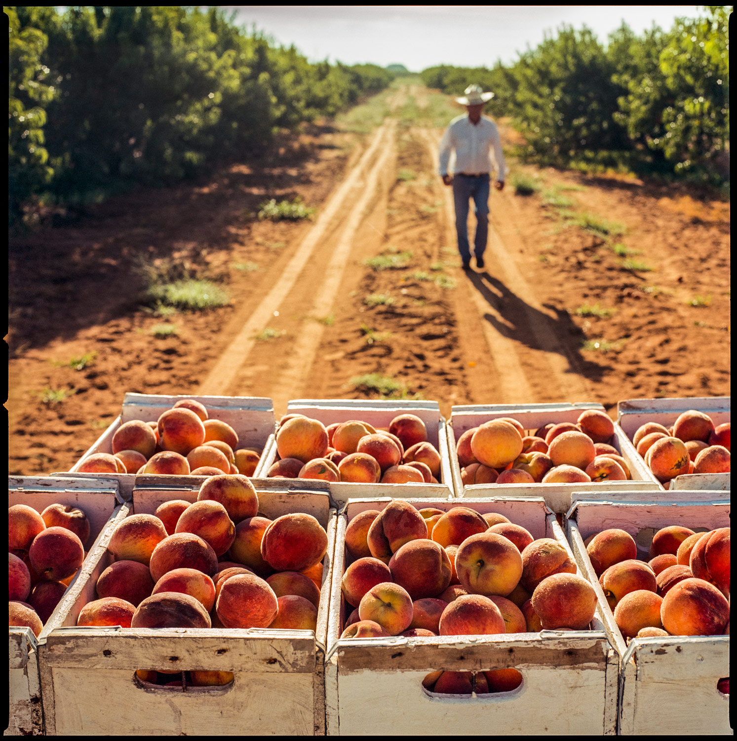 Peaches in crates near Stonewall, Texas