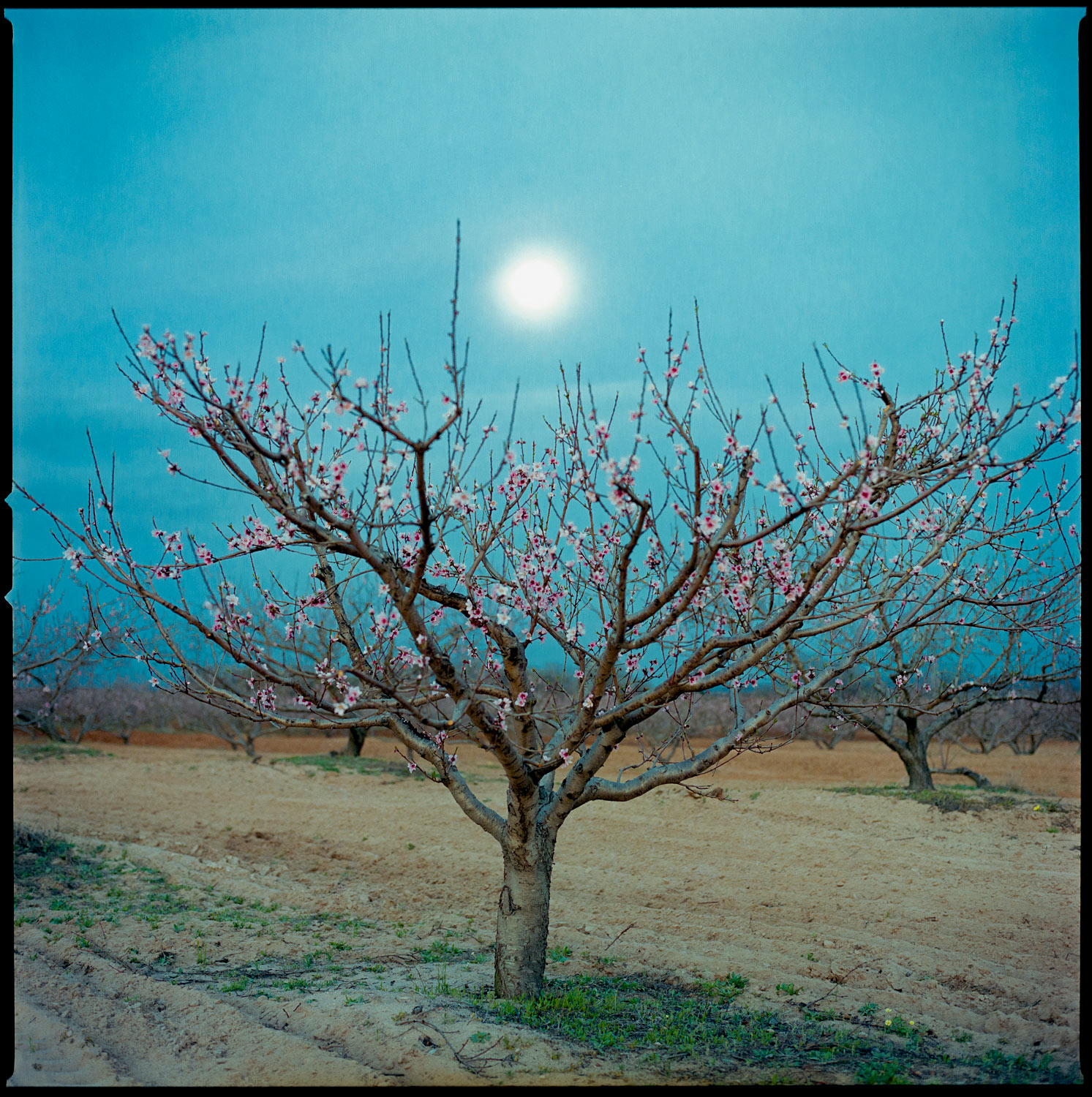 Peach tree in orchard at dusk with moon