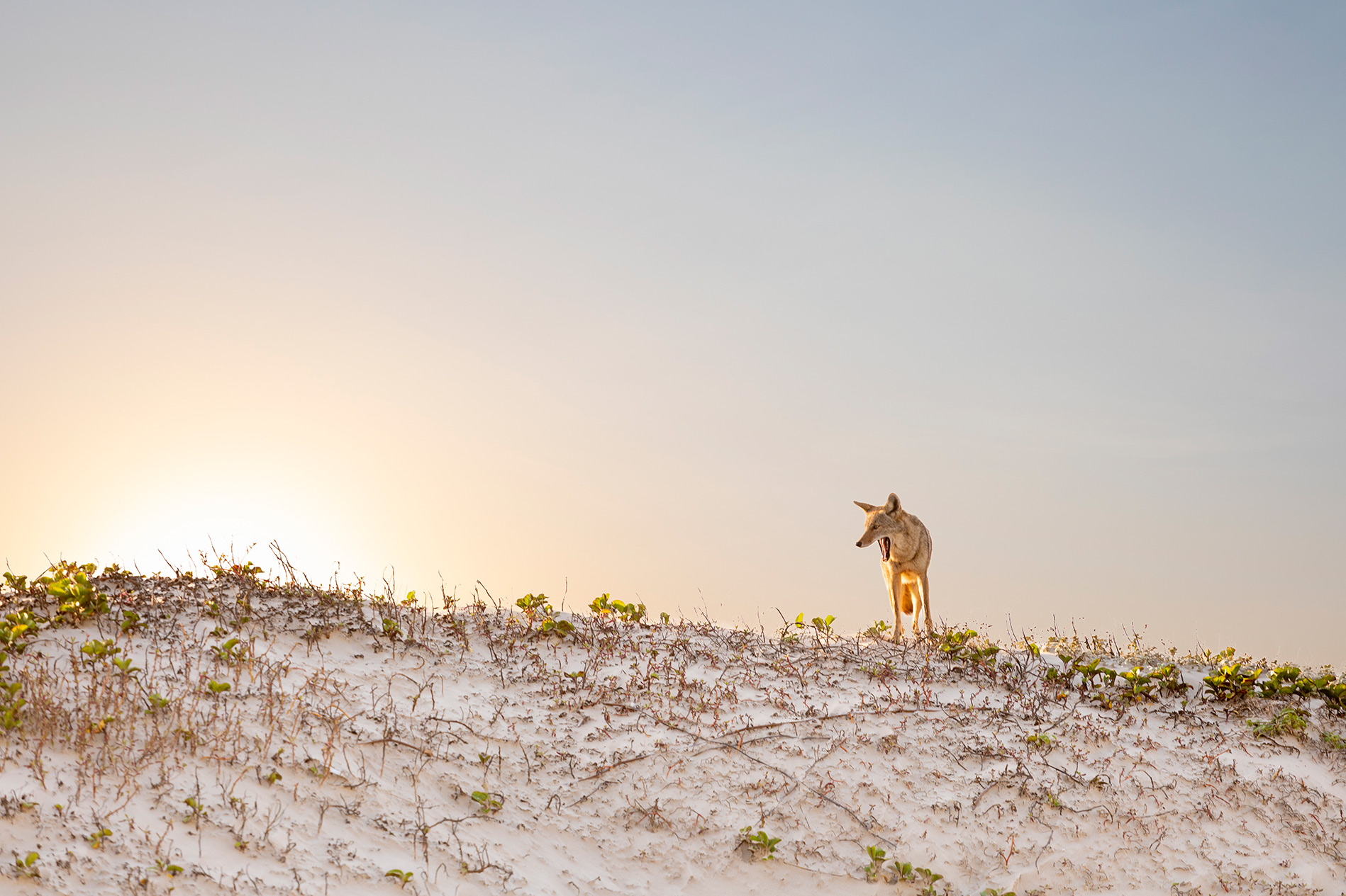 Coyote on Padre Island National Seashore