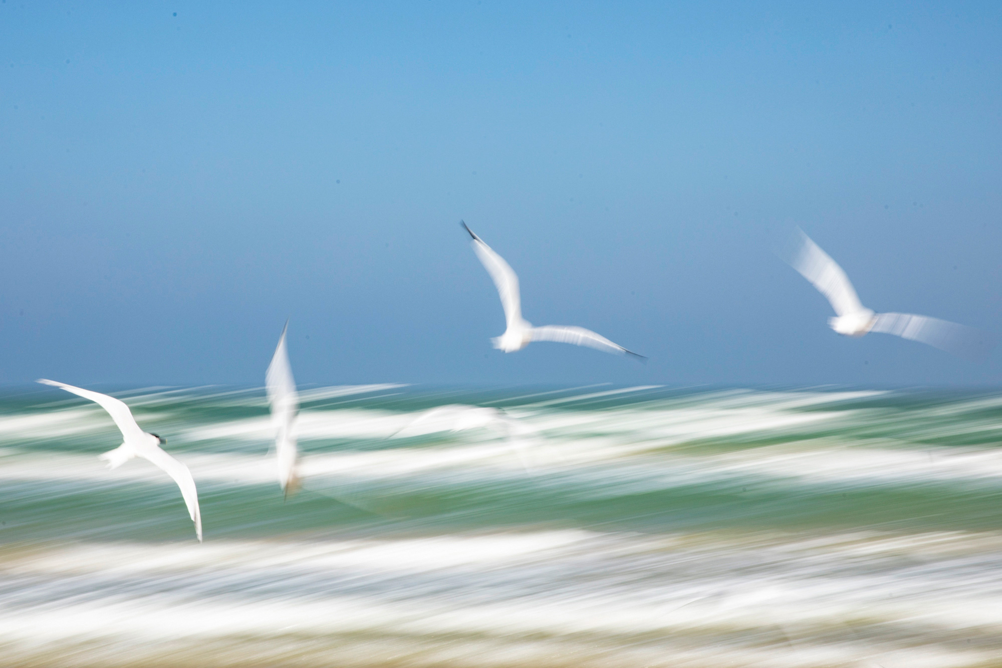 Shorebirds over the Gulf
