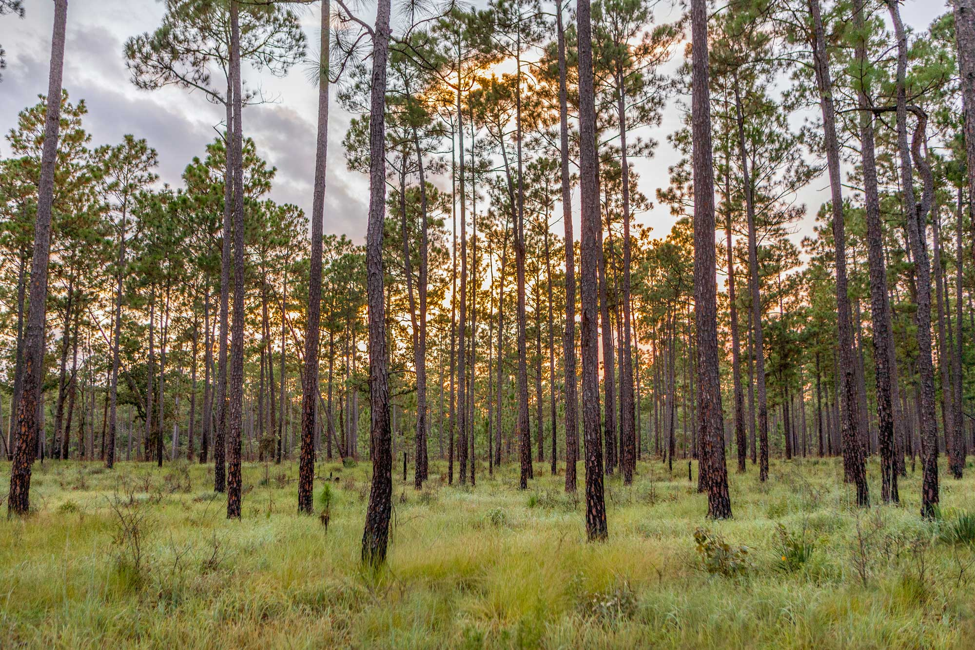 Pine Forest in East Texas